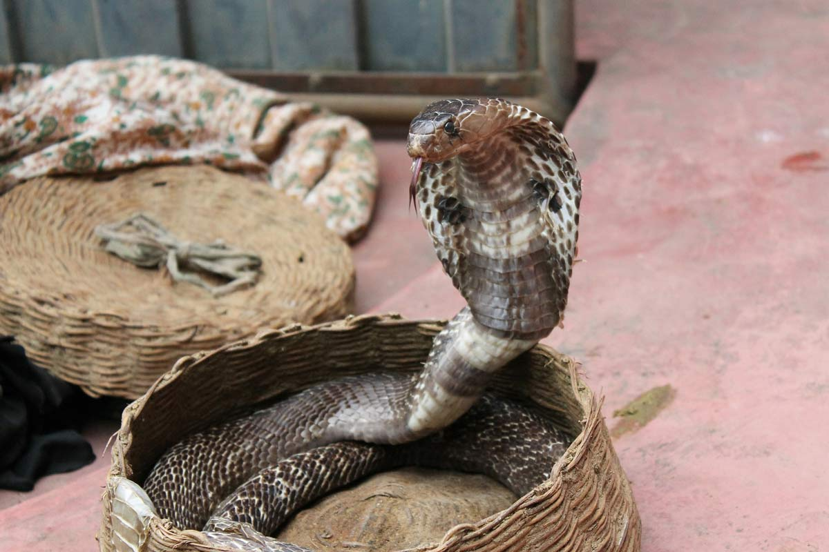 exotic foods - Vietnam - cobra heart