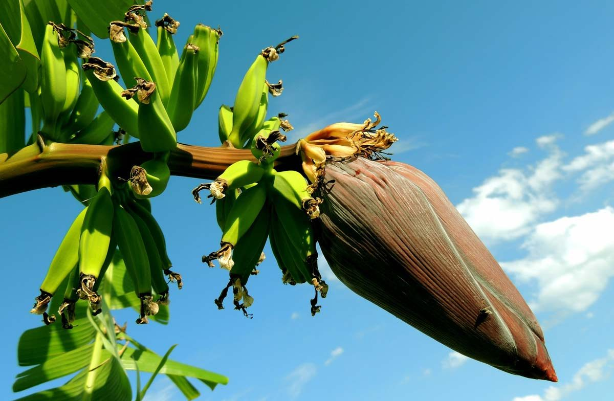 food facts- banana tree is a herb 1