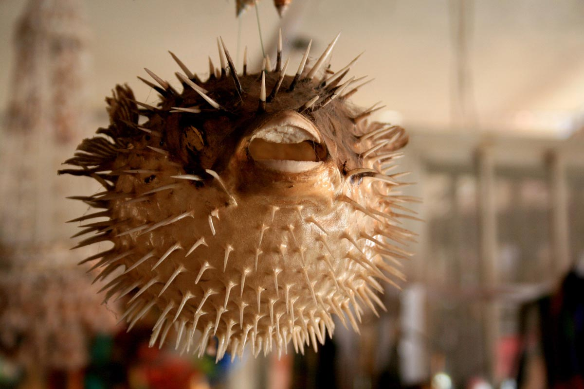 top 5 poisonous foods - pufferfish