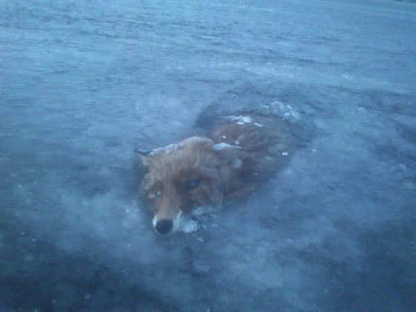 frozen animals fox swedish lake