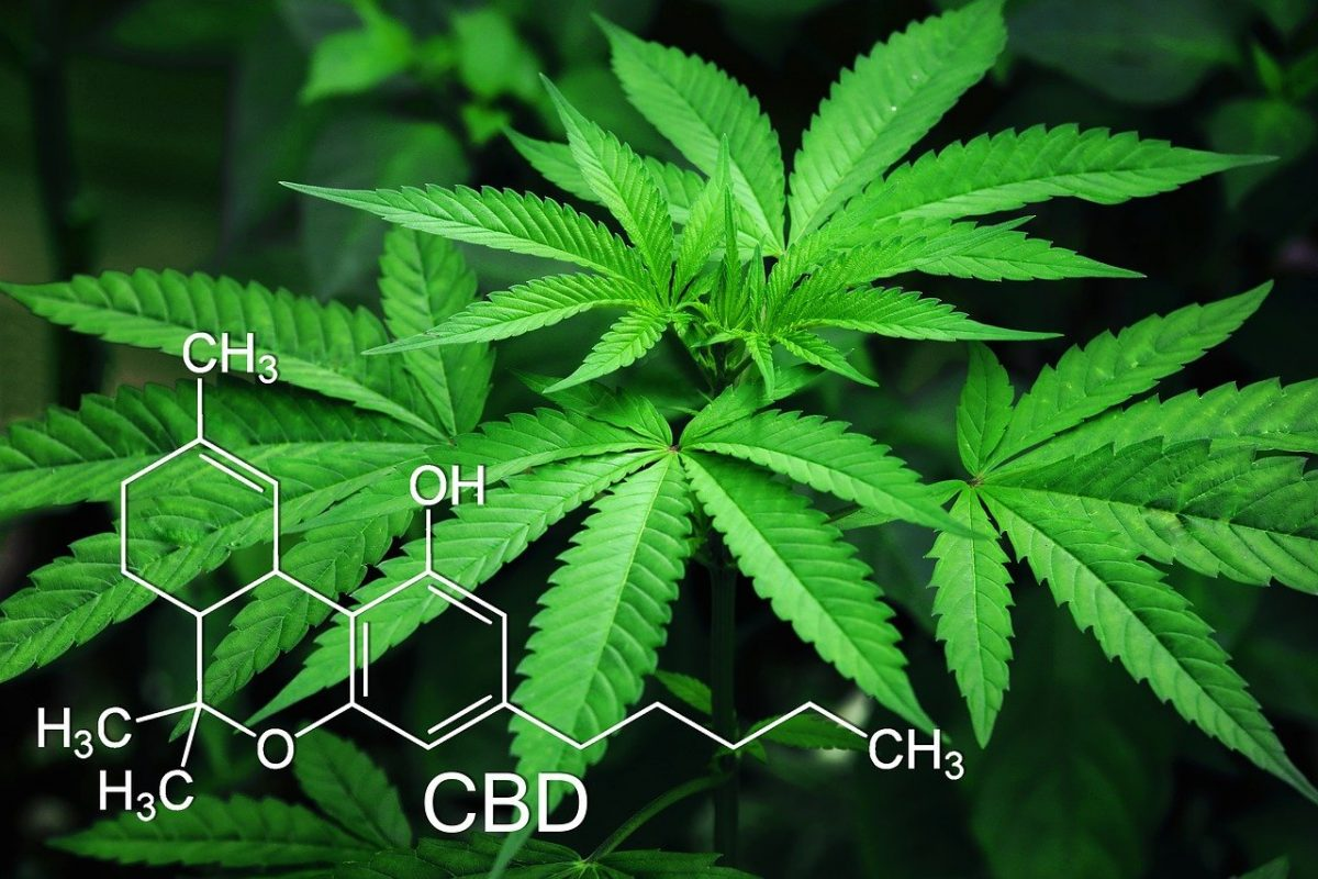 CBD oil cannabis plant